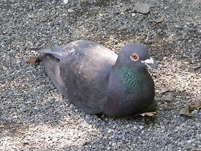 地面でくつろぐ鳩
